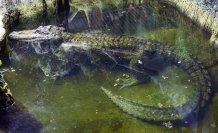 84-year-old alligator believed to have been Adolf Hitler's dies in the Moscow Zoo