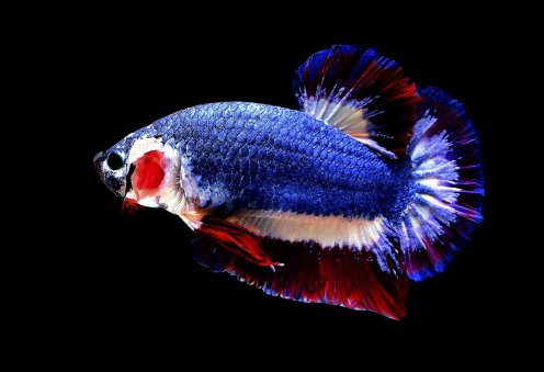 Thai fish with national flag colors sold for more than $1.5K