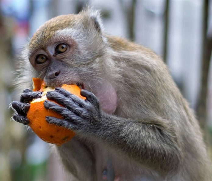 khỉ ở động Batu