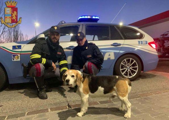Beagle salvato