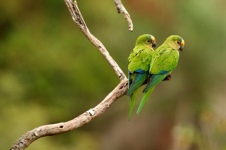 Papagaios na floresta em Mato Grosso do Sul.