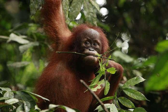 Sumatran Orangutan. © Will Rose / Greenpeace