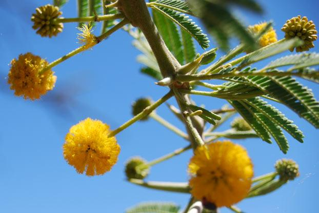 Image result for Acacia Nilotica-Egypt