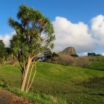 A cabbage palm near Maungaraho Rock, Northlands, New Zealand