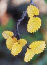 Leaf detail of Nothofagus gunnii, the last Tasmanian deciduous tree (Photo by David Tng)
