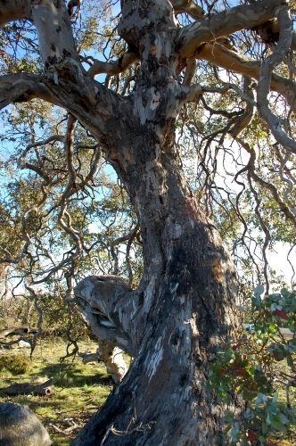 A specimen of Eucalyptus gunnii divaricata - Photo by David Tng