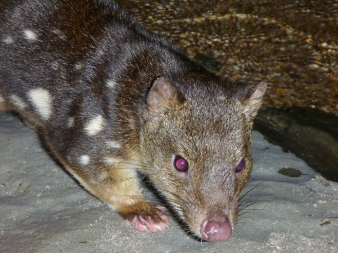 Meet the locals- spotted-tail quoll (Dasyurus maculatus) at Lake Judd - by Nick Fitzgerald - 009