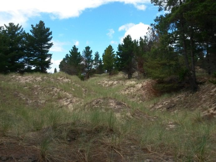 Exotic pine trees are stabilising the dune - At Five Mile Beach