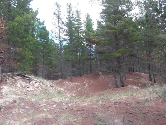 Pine forests are transforming the dune system - At Five Mile Beach