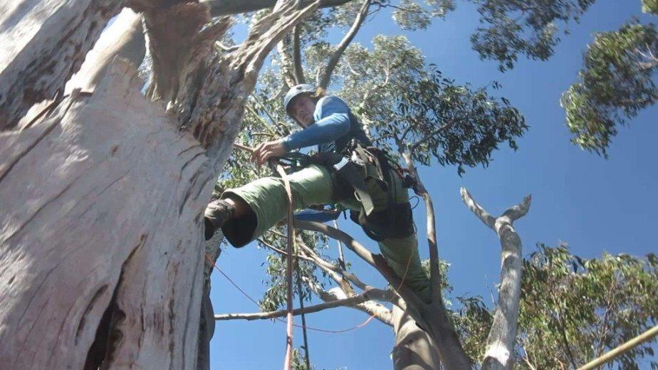 ClimbingTheTallestFloweringTree_byYD BarNess_TasmanianGeographic__09