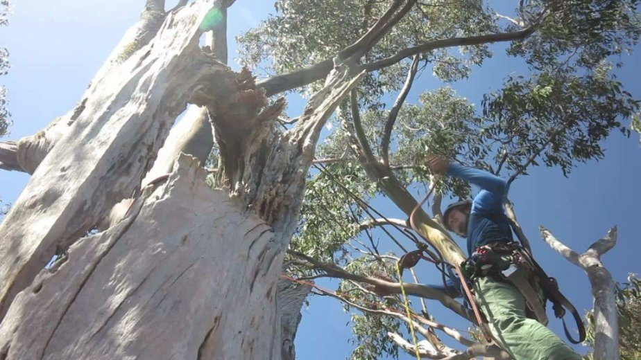ClimbingTheTallestFloweringTree_byYD BarNess_TasmanianGeographic__16