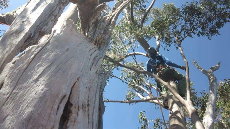 ClimbingTheTallestFloweringTree_byYD BarNess_TasmanianGeographic__19