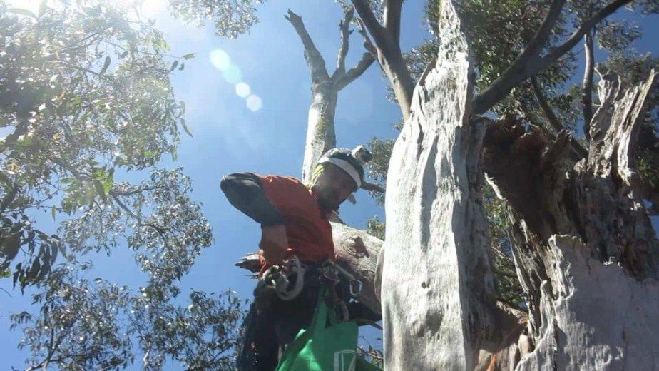 ClimbingTheTallestFloweringTree_byYD BarNess_TasmanianGeographic__34
