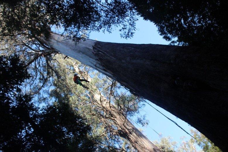 ClimbingTheTallestFloweringTree_byYD BarNess_TasmanianGeographic___3693