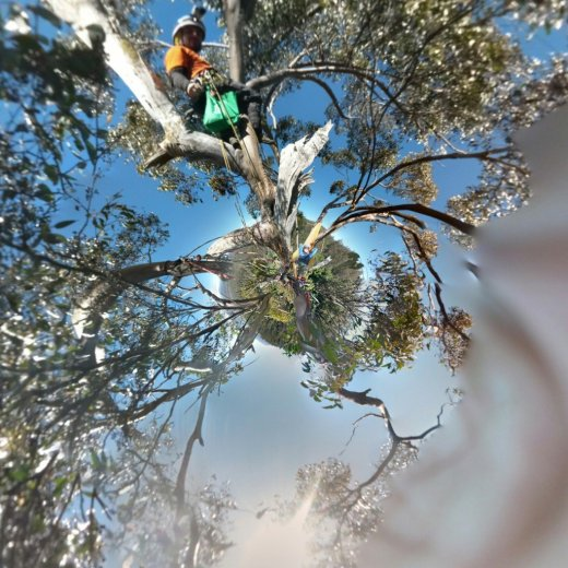 ClimbingTheTallestFloweringTree_byYD BarNess_TasmanianGeographic___Photosphere_E Treetop_Planet