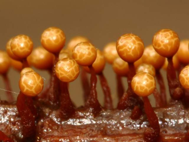 Slime Mold Images - Trichia Botrytis- by Sarah Lloyd