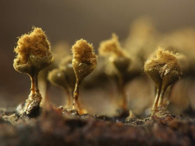 Slime Mold Images - Trichia Decipiens- by Sarah Lloyd
