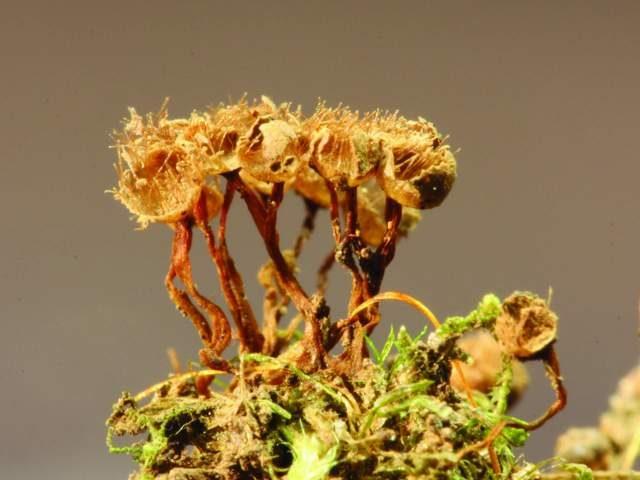 Slime Mold Images - Alwisia lloydiae- by Sarah Lloyd