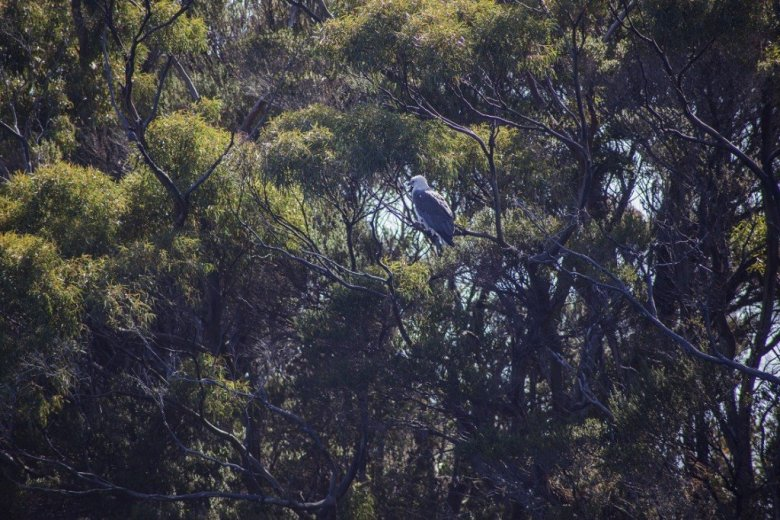Flying Into The South Coast Track - White bellied sea eagle - by Geraldina Dijkstra