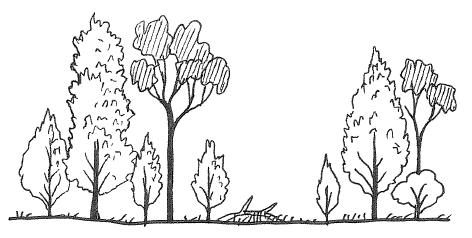 Simple profile diagram of mature cypress-pine (Callitris) woodland - by Paula Peeters