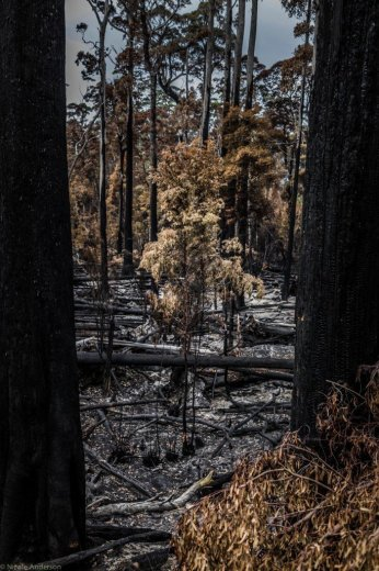 Rebecca Rd Forest - Ten days after the Wuthering Heights fire consumed it - 5th Feb 2016- by Nicole Anderson