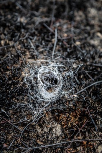 Wuthering Heights - Ten days after the fire - this very active spider and shiny new web a testament to natural resilience- by Nicole Anderson