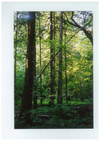 Forest south of Lublin. Poland - a mix of conifers and deciduous trees, with low-lying understorey- by Chrystine Klimek