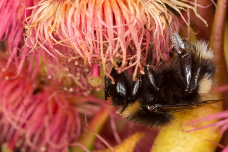 bumble-bees-bombus-terrestris-have-been-established-in-tasmania-since-the-early-1990s-by-kristi-ellingsen-_1200px