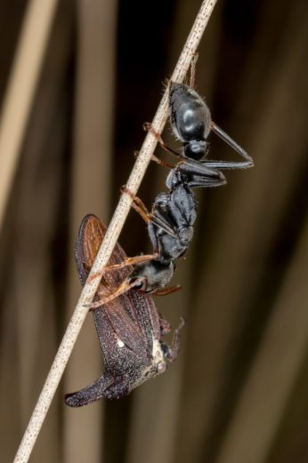 due-to-allergies-our-most-dangerous-species-is-the-common-jack-jumper-ant-myrmecia-pilosula-by-kristi-ellingsen-_1200px