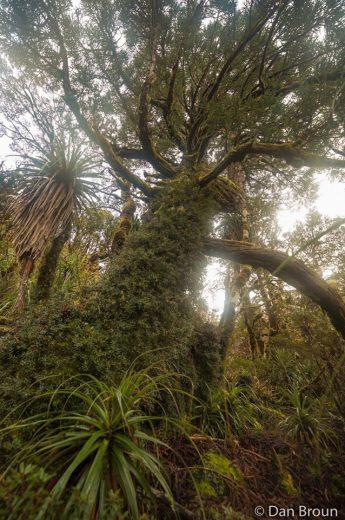 A magnificent King Billy pine tree swathed in climbing heath- by Dan Broun