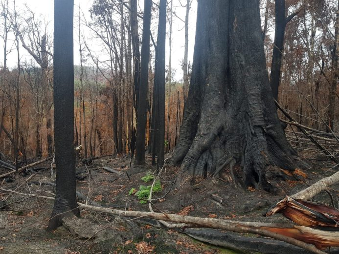 Scouting the Burnt Forest - by YD BarNess-GiantTreeExpeditions- 24