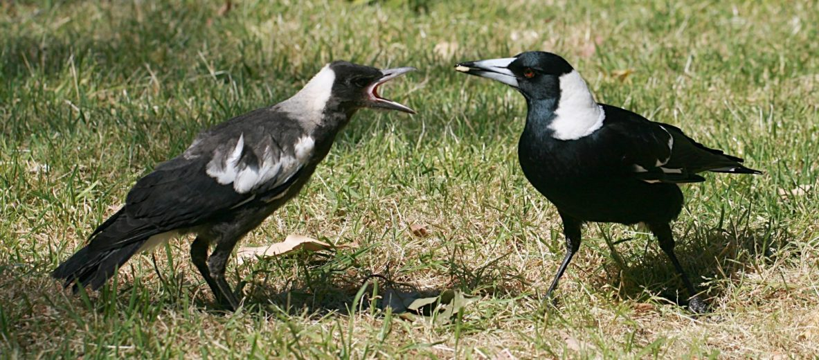 Australian_Magpie_feeding Toby Hudson [CC BY-SA 3]