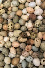 Lots of Eggs, all blown, no live embryos- via Kiara LHerpiniere