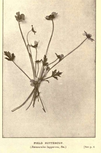 Illustrations from Rodway -Some Wildflowers of Tasmania - by Olive Barnard 42.39