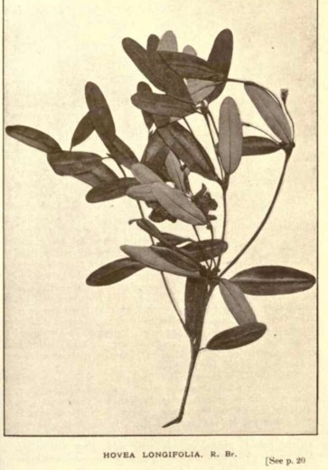 Illustrations from Rodway -Some Wildflowers of Tasmania - by Olive Barnard 43.15