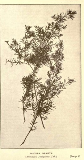 Illustrations from Rodway -Some Wildflowers of Tasmania - by Olive Barnard 43.28