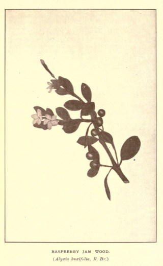 Illustrations from Rodway -Some Wildflowers of Tasmania - by Olive Barnard 45.13