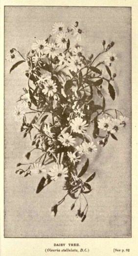 Illustrations from Rodway -Some Wildflowers of Tasmania - by Olive Barnard 45.43