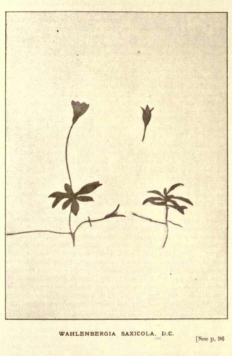 Illustrations from Rodway -Some Wildflowers of Tasmania - by Olive Barnard 45.47