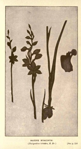 Illustrations from Rodway -Some Wildflowers of Tasmania - by Olive Barnard 46.53