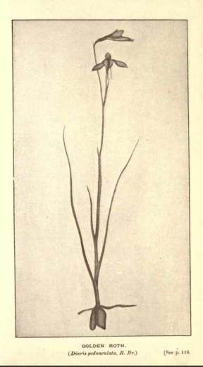 Illustrations from Rodway -Some Wildflowers of Tasmania - by Olive Barnard 46.58