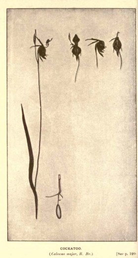 Illustrations from Rodway -Some Wildflowers of Tasmania - by Olive Barnard 47.24