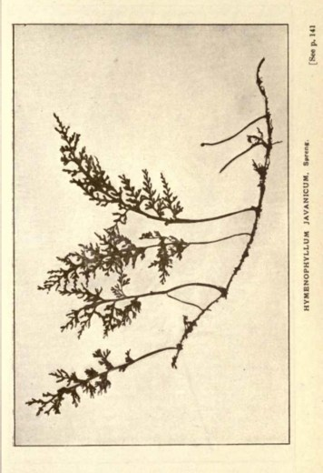 Illustrations from Rodway -Some Wildflowers of Tasmania - by Olive Barnard 48.41