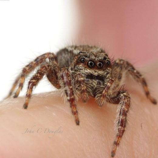 A cheeky look from a Servaea incana as it contemplates jumping onto the camera lens - by John Douglas