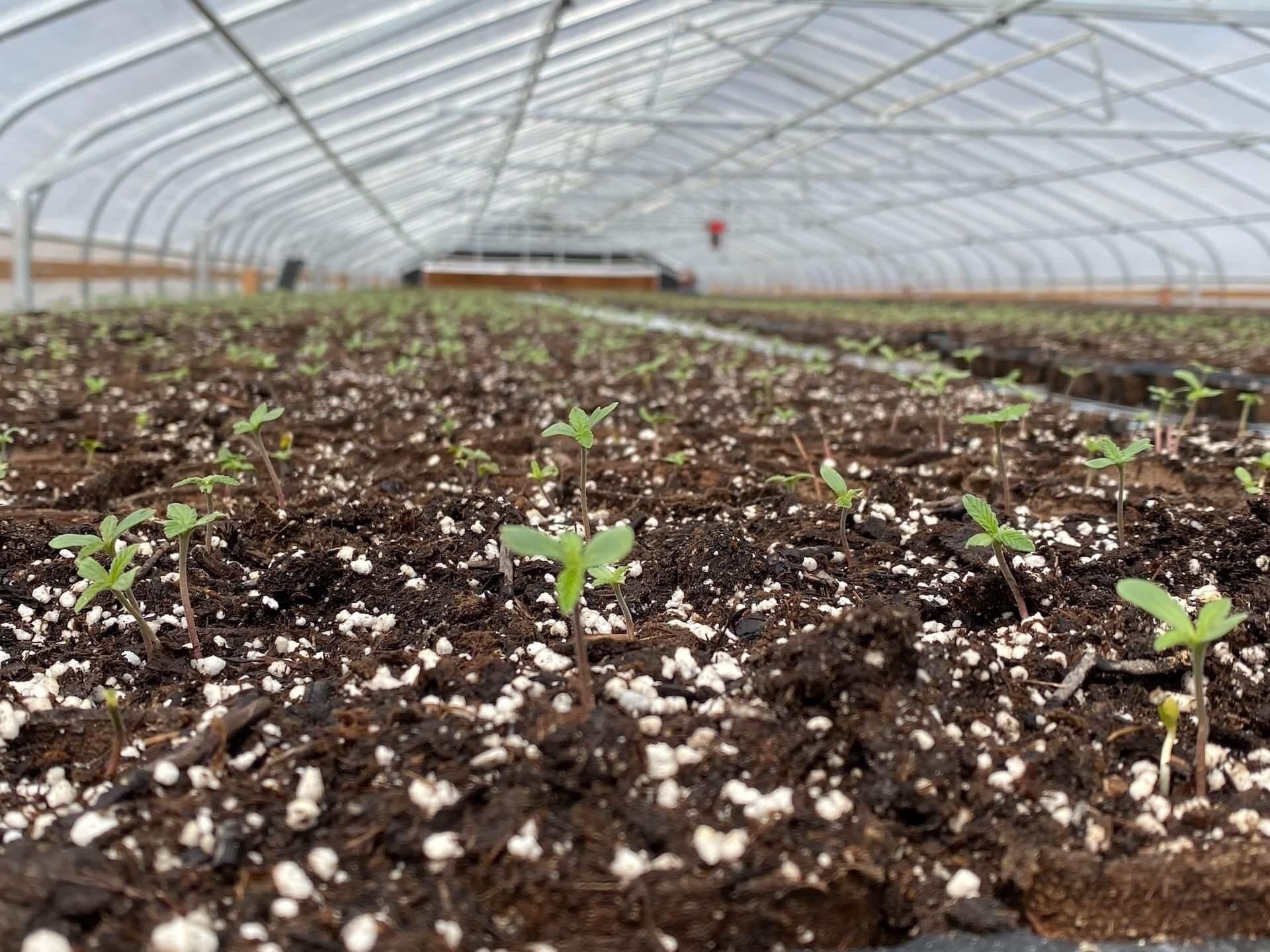Greenhouse Starts-min (1)