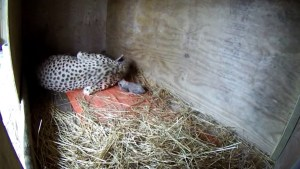 baby-cheetahs-birth