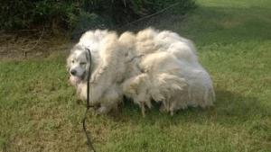 barn-dog-haircut