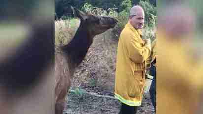 orphaned-elk-befriends-firefighters