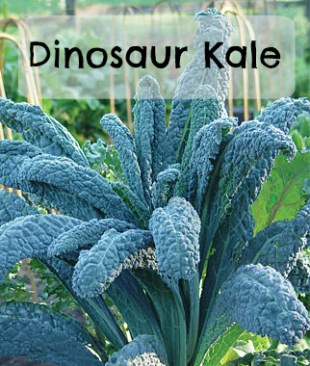 Dinosaur Kale for the market garden