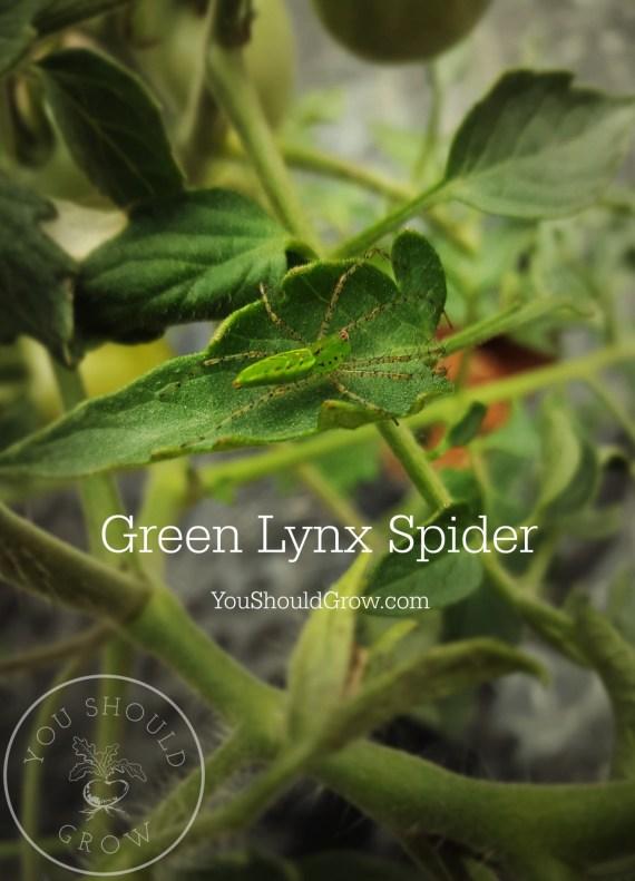 A green lynx spider